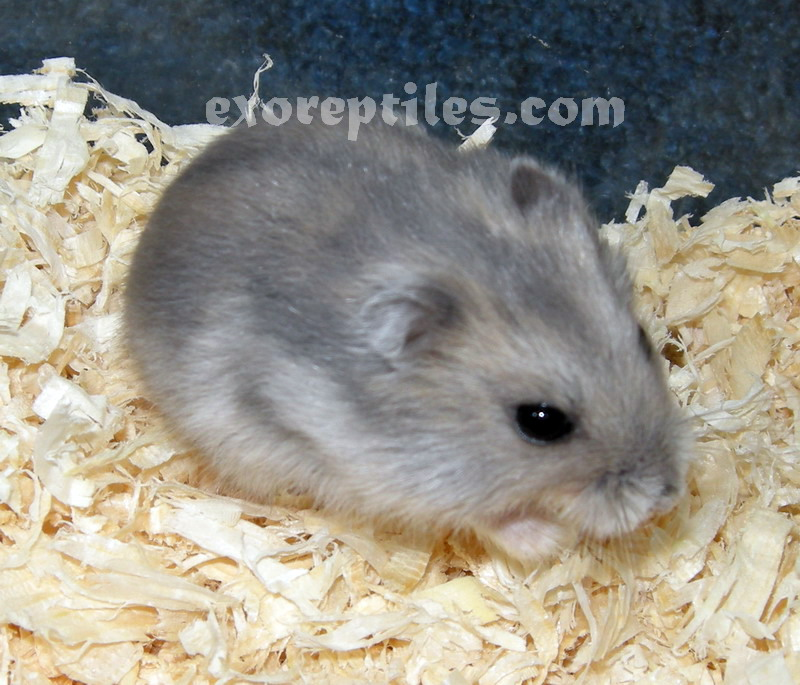 White Dwarf Hamster (page 2) - Pics about space