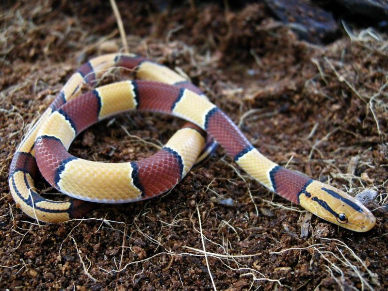 home snakes non...